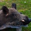 Boar — Stock Photo