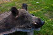 Boar — Stock Photo