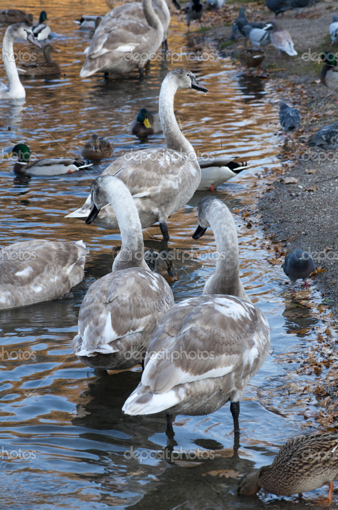 High resolution image. Ducks and swans on the bank of lake. — Stock Photo #4416796