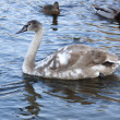 White swan — Stock Photo #4506979