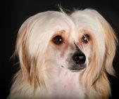 Ухоженные Китайская хохлатая собака — Стоковое фото
