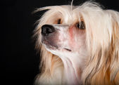 Groomed Chinese Crested Dog — Stock Photo