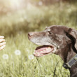 Royalty-Free Stock Photo: Dog and dandelion