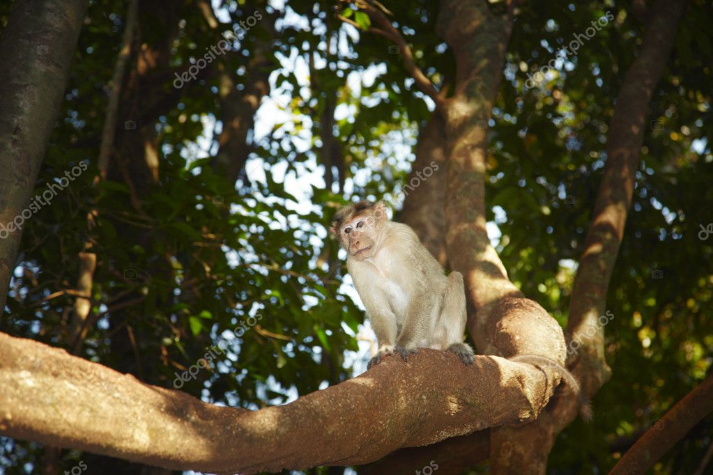Wild monkey on the tree in Indian jungles. Goa. Natural light and colors — Stock Photo #3810139