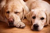 Dwa labradory — Zdjęcie stockowe
