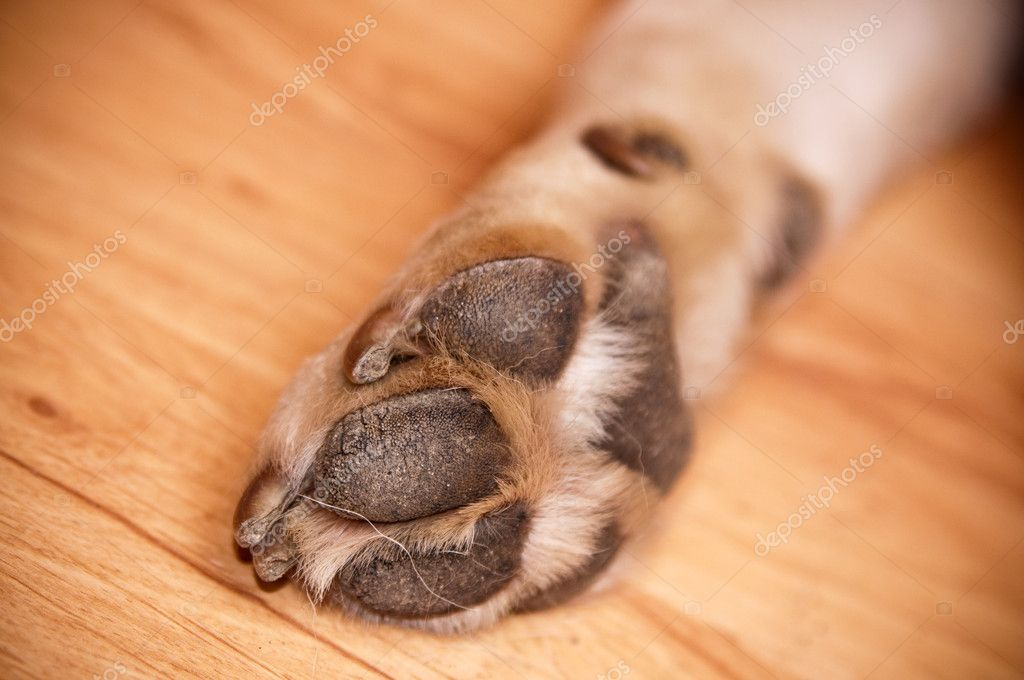 Paw of labrador — Stock Photo #3072127
