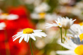 White and yellow daisies — ストック写真
