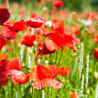Poppies and others wild flowers into wheat field — Stock Photo