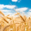 Golden ripe wheat in a field in summer — Stock Photo