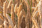 Ripe dry cereal on farm field — Stock Photo