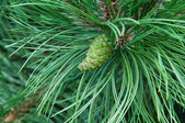 Cone hanging on the branch of the pine — Stock Photo