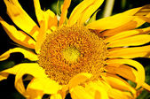 Sunflower on wild field closeup — Stock Photo