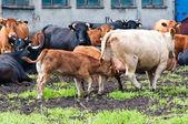 Terneiros e vacas na fazenda de gado leiteiro — Foto Stock