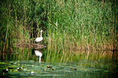 Swan in reeds on the pond — Stock Photo