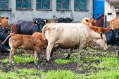 Claf e vacas na fazenda de gado leiteiro — Foto Stock
