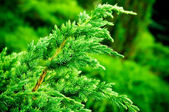 Juniper branch closeup — Stock Photo