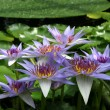 Stock Photo: Water Lily - Nymphaecaerulea