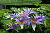 Water Lily - Nymphaea caerulea — Stock Photo