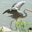 Grey heron hunting — Stock Photo