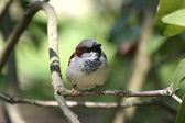 Sparrow - Passer domesticus — Stock Photo