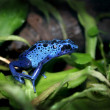 Blue poison dart frog - Stockfoto