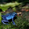 Blue poison dart frog — Stock Photo #2841005