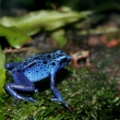 Blue poison dart frog - Stock Photo