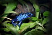 Blaues Gift Dart-Frosch — Stockfoto