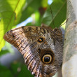 Stock Photo: Owl butterfly