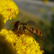 Stock Photo: Hover fly