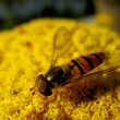 Hover fly — Stock Photo #3458816