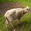 Lonesome sheep - Stock Photo