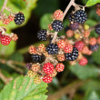Black Berries — Stock Photo