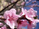 Peach blossom — Стоковое фото