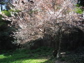 Cherry blossoming tree and garden bench — Stock Photo