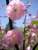 Close up of wild dog rose flower — Stock Photo
