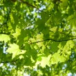 Maple leaves — Stock Photo #3128570