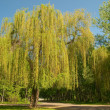 Willow tree in a park - Stock Photo