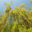Stock Photo: Willow tree