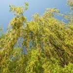 Willow tree — Stock Photo