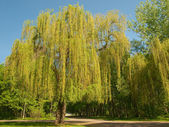 Willow tree in a park — Stock Photo