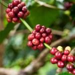 Coffee plant — Stock Photo #3196227