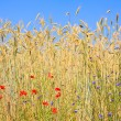 Rye with field flowers — Stock Photo
