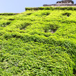 Green wall made by fresh vine leaves - Stock Photo
