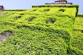 Green wall made by fresh vine leaves — Stock Photo
