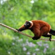 Red  lemur wari in the jungle - Stock Photo