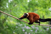 Red lemur wari in the jungle — Stock Photo