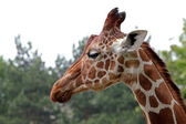 Portrait of a young giraffe — Stock Photo