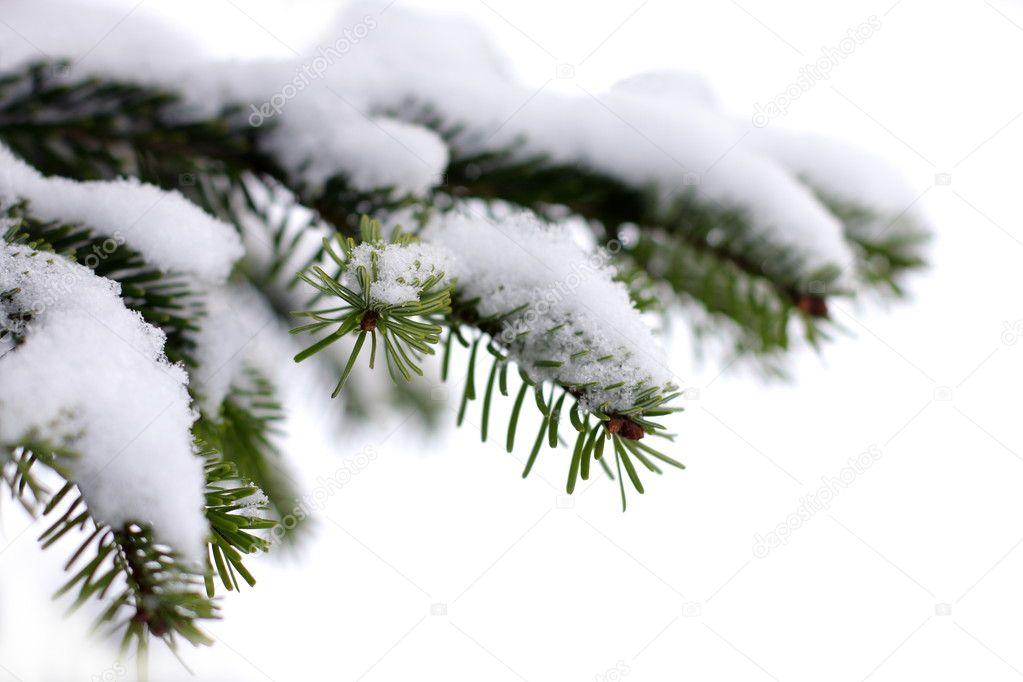 Christmas evergreen spruce tree with fresh snow on white, holiday background — Stock Photo #3581674