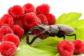 Monster stag beetle eats lunch in the middle of raspberries — Stock Photo